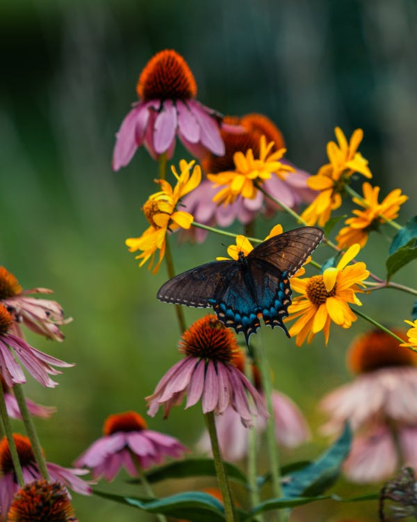 Black and Brown Butterfly Perched on Yellow and Pink Flower in Close Up Photography