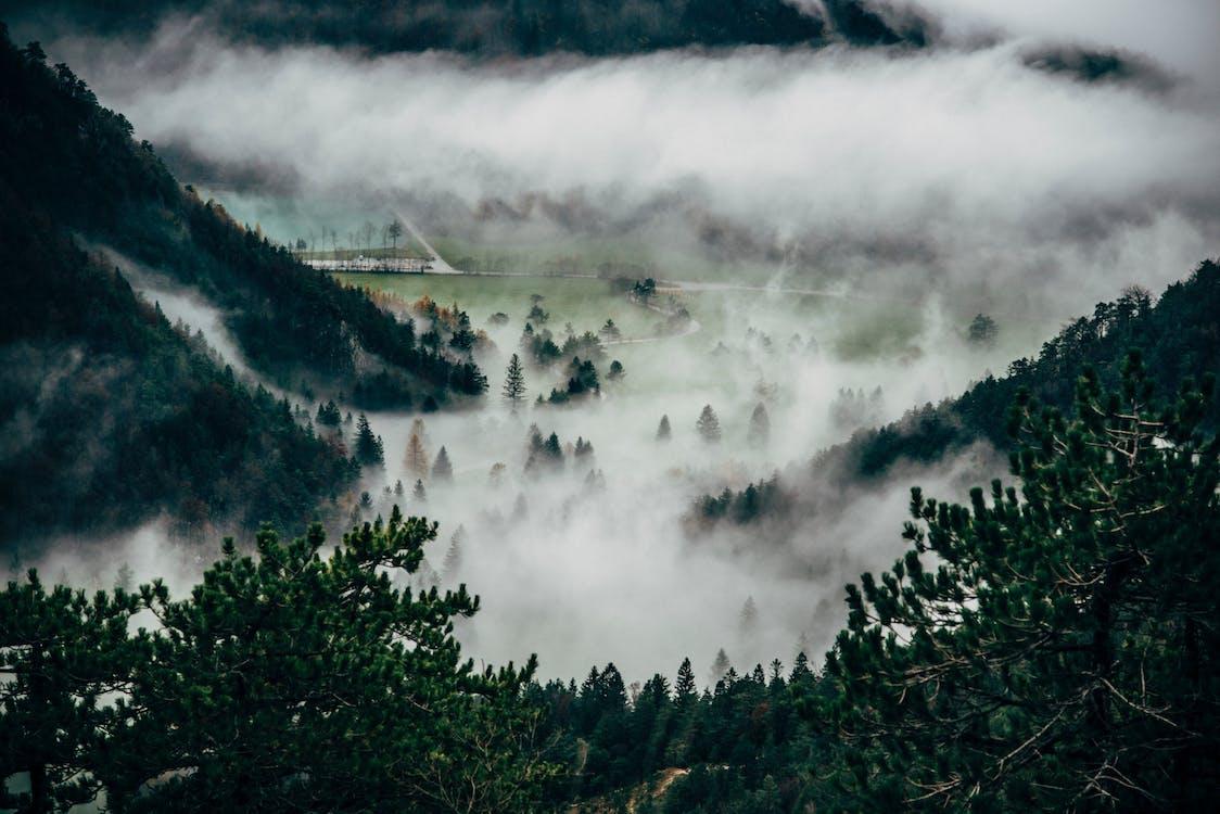barrträd, dimmig, Granar