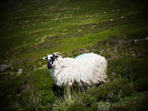 Δωρεάν στοκ φωτογραφιών με tradeagh βουνά, βουνά πρόβατα, βουνό, γρασίδι