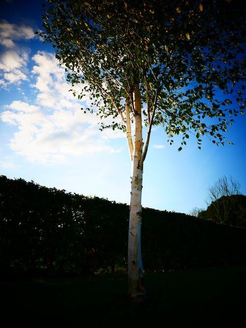 Foto d'estoc gratuïta de arbre, bardissa, blau, brillant