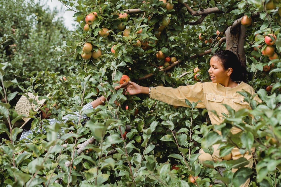 Cheerful Hispanic teen girl helping farmer in picking ripe fruits growing in green garden