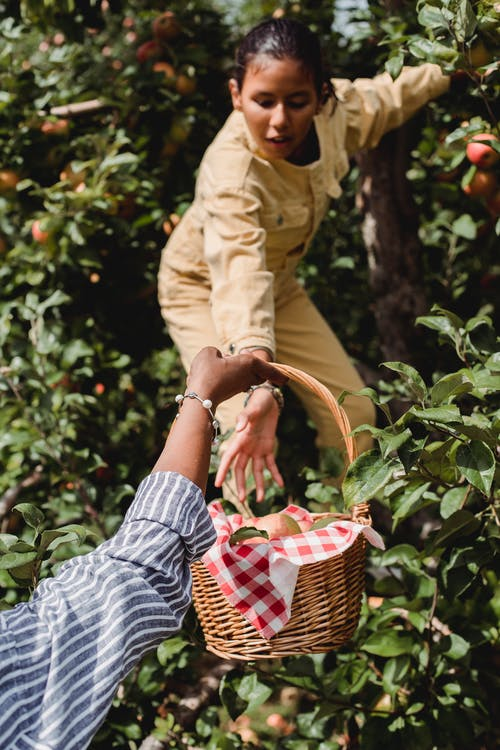 Ethnic girl harvesting apples with mother