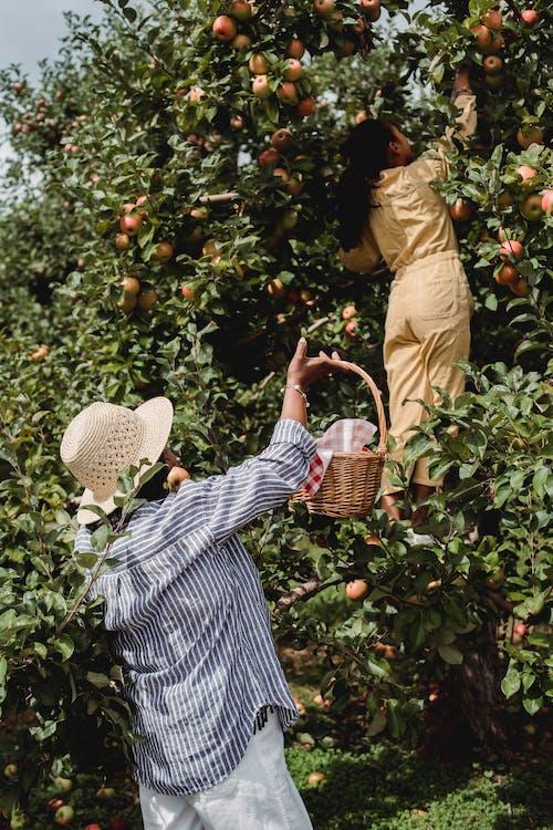 Tuinman Oogsten Appels Met Dochter In De Tuin