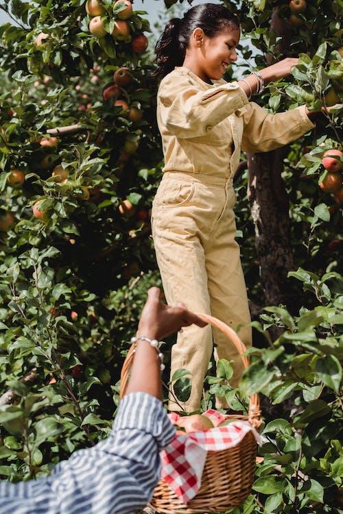 Blij Etnisch Meisje Verse Appels Plukken Met Boer In De Tuin