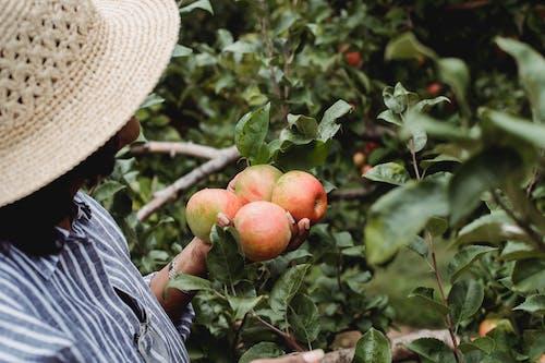 Vrouw Plukken Grote Rijpe Appels Groeien In De Tuin