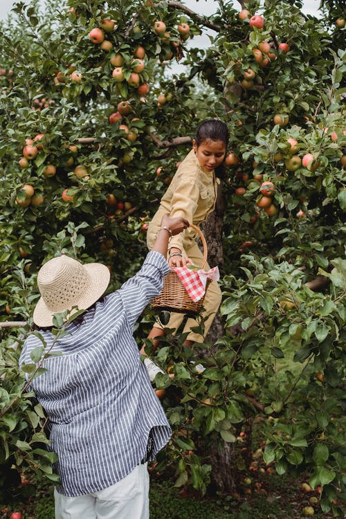 Ethnic teen harvesting apples with mother in farm