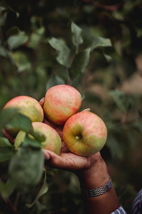 Ethnic woman picking fresh apples in yard
