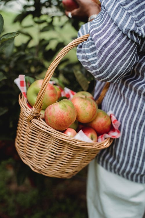 Woman collecting apples in orchard during harvest season