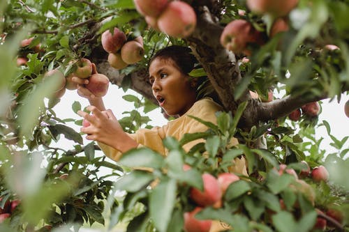 Surprised ethnic girl picking apples on tree
