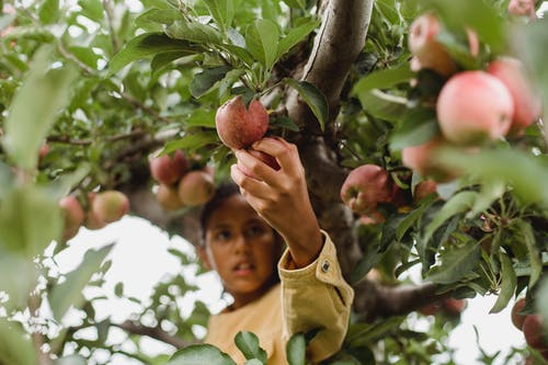 Ethnic teen girl climbed on tree harvesting fruits