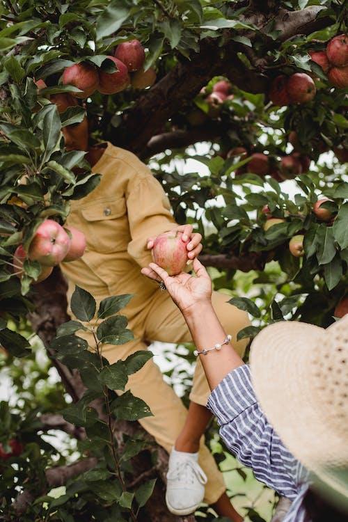 Farmer harvesting apples with girl in lush garden