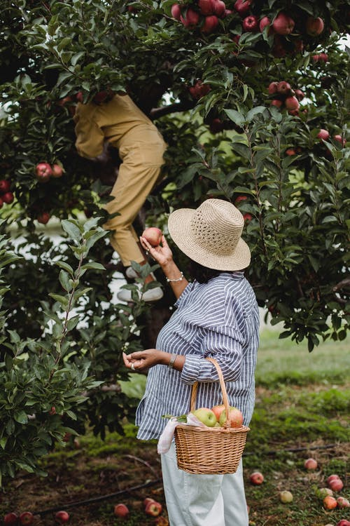 Ethnic woman harvesting apples with daughter