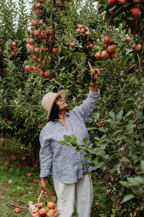 Mature ethnic farmer pointing at ripe apples in garden