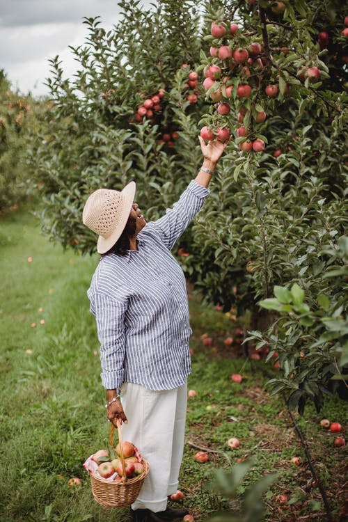 Ethnic female gardener collecting apples from tree branch