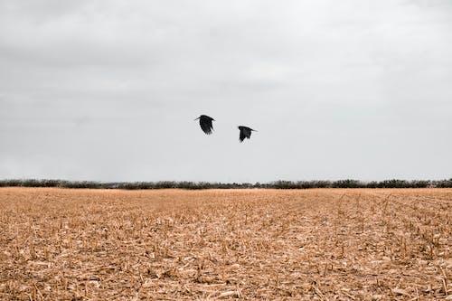 Black Bird Flying over Brown Field