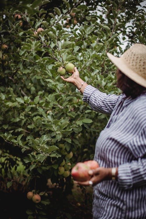 Uprawa Jabłek Zbiera Kobiety W Ogrodzie