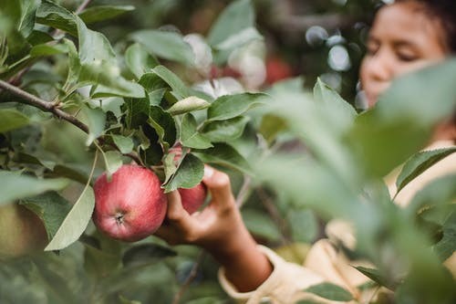 Crop teen girl picking ripe apples in garden