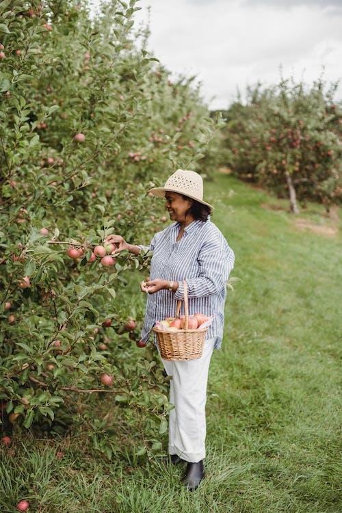 西班牙裔女人收穫成熟的蘋果在花園裡