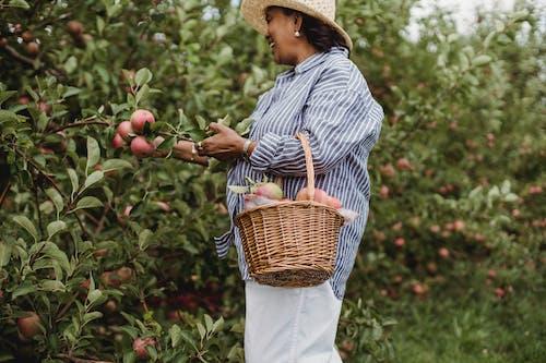 Feliz Mujer Hispana Cosechando Manzanas En El Jardín