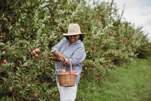 Latin American female in hat with basket harvesting ripe red apples while smiling