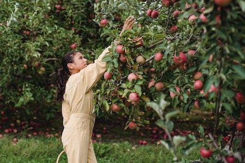 Hispanic Teen Girl Zbioru Dojrzałych Jabłek