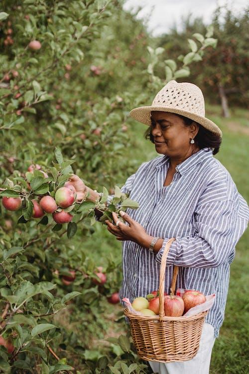 Smiling woman harvesting ripe apples in green garden