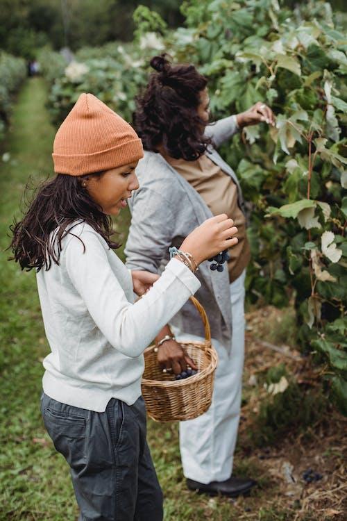 Mujer Madura E Hija Recogiendo Cosecha De Uvas