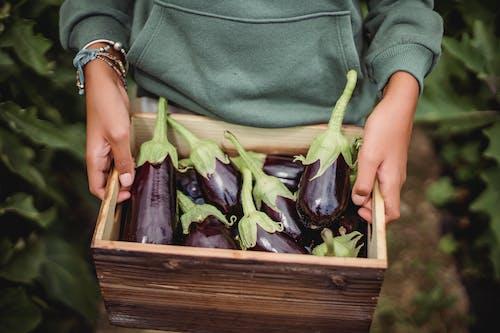 Crop Harvester Mit Frischen Auberginen In Box