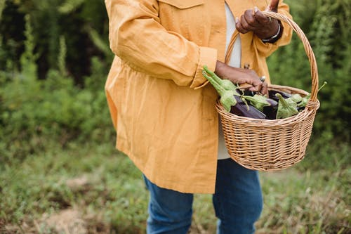 Crop faceless ethnic female gardener in casual wear carrying wicker basket with heap of fresh raw harvested eggplants in countryside
