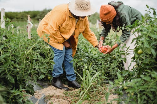 Side view of unrecognizable ethnic female gardeners in casual clothes and hats harvesting ripe vegetables in green plantation