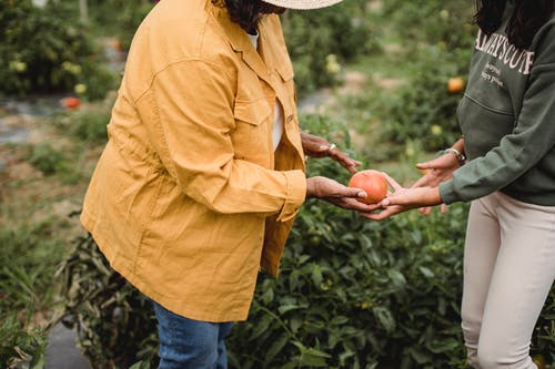 Side view of crop unrecognizable mature ethnic female gardener in casual clothes giving ripe tomato to young daughter during harvesting works in farm