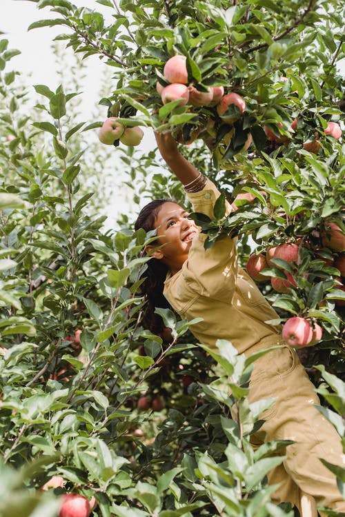 Side view of smiling ethnic harvester picking fresh apples from lush tree in countryside