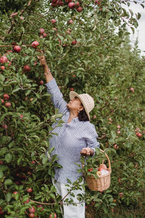 Ethnic female farmer with wicker basket picking fresh apples from green tree in countryside