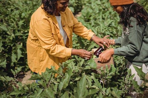 夏季在農作物上採摘茄子的農作物民族收割機