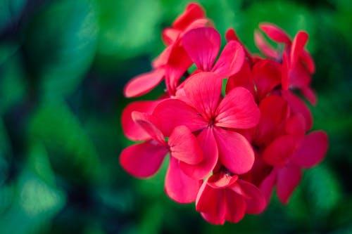 Бесплатное стоковое фото с герань, цветок