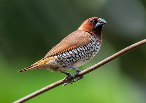 Scaly breasted munia sitting on branch of tree in forest