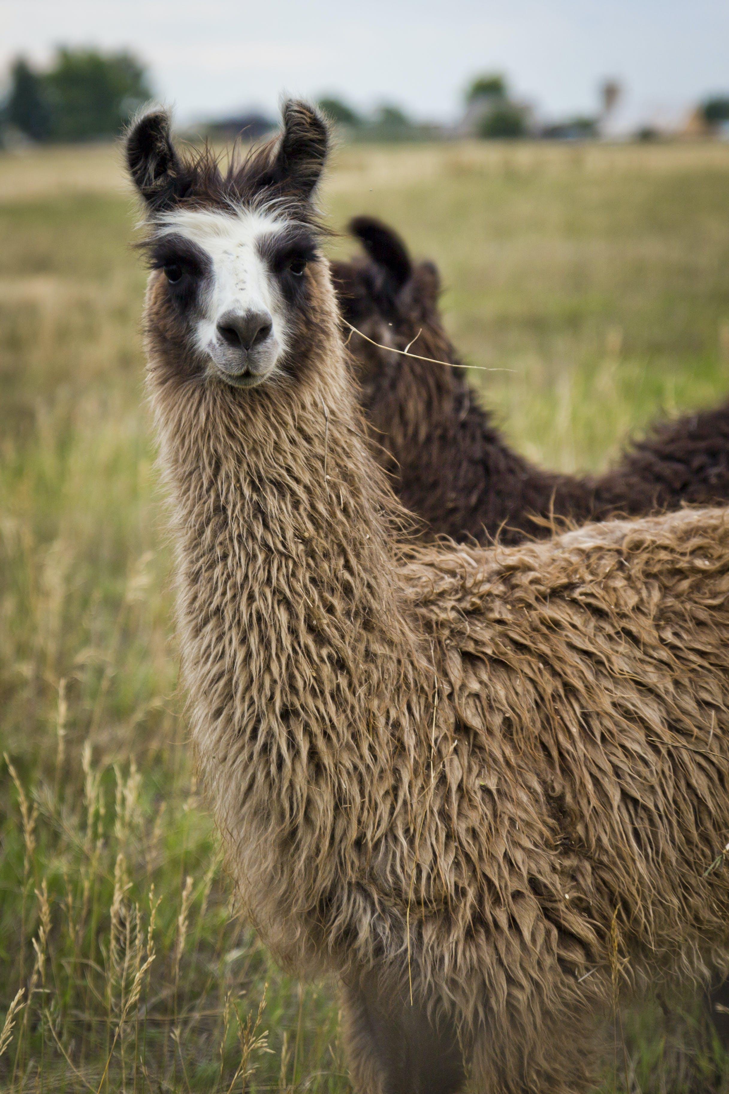 Δωρεάν στοκ φωτογραφιών με llamas, λάμα, λάμα στο πεδίο
