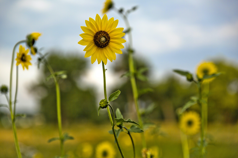 Δωρεάν στοκ φωτογραφιών με άγρια λουλούδια, ηλιοτρόπια, ηλιοτρόπιο, κίτρινα άνθη