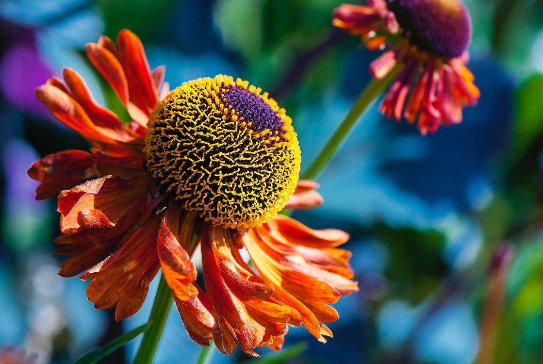 Free stock photo of beautiful flowers, close up, flowers