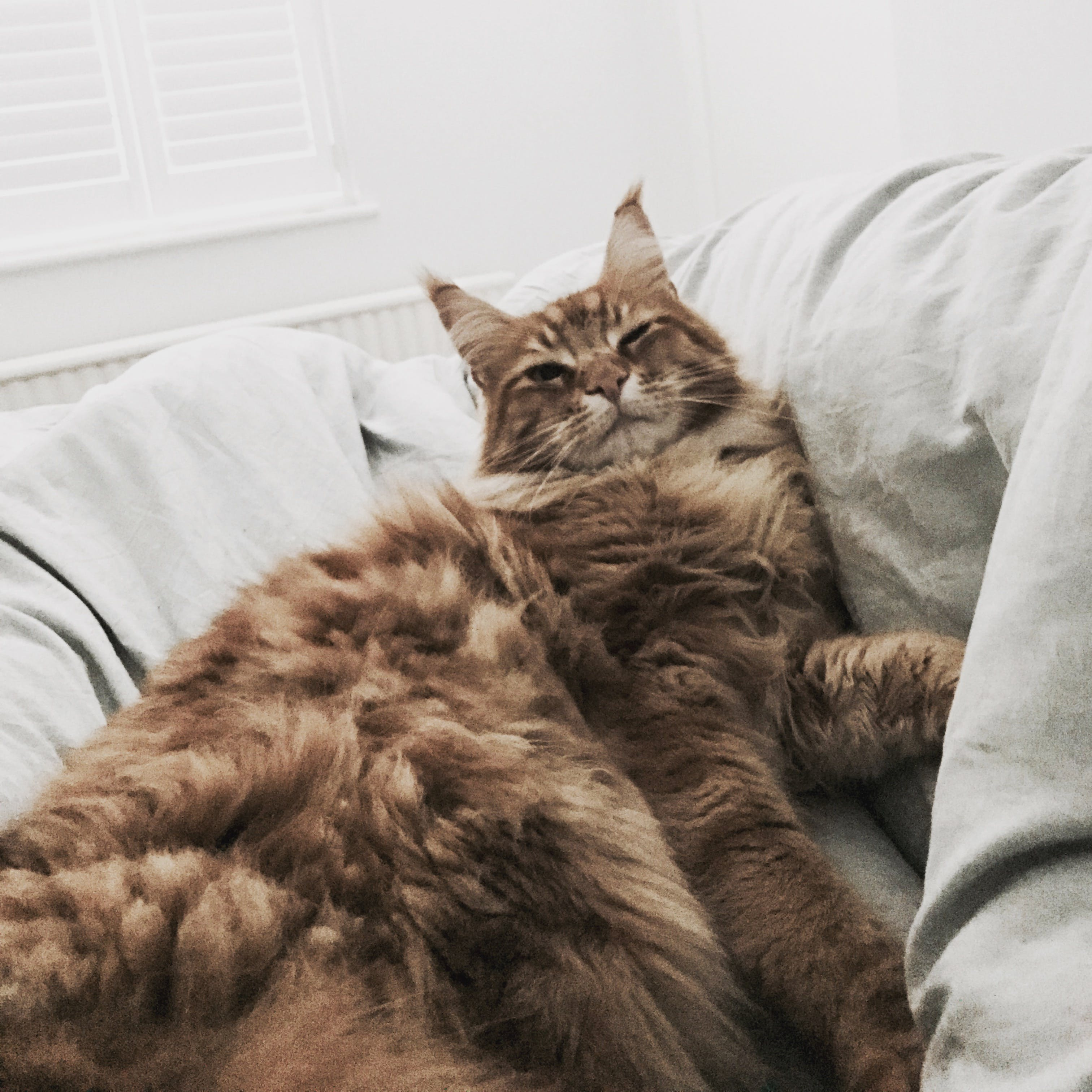 Free stock photo of bed, bedding, cat, ginger