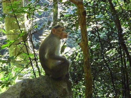 Free stock photo of monkey, monkey sitting