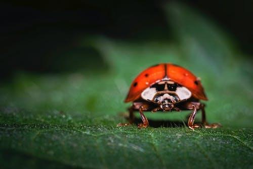Macro Shot of a Ladybug on a Leaf