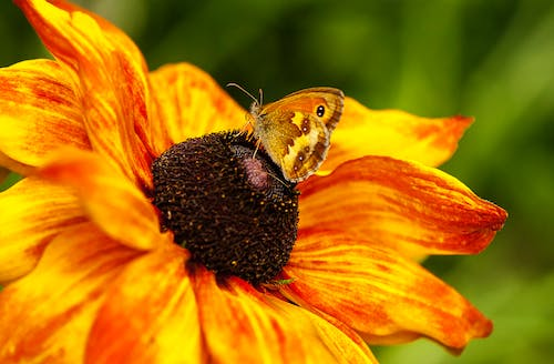 Free stock photo of butterfly, butterfly on a flower, close-up, insect