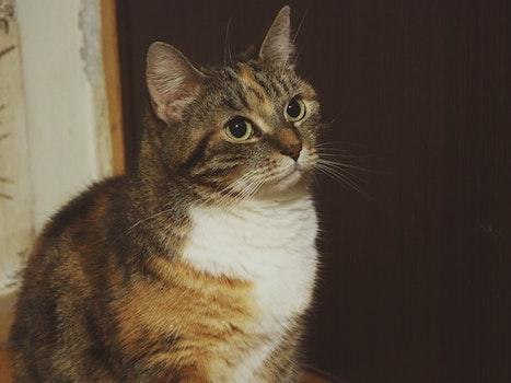 Kostenloses Stock Foto zu haustier, augen, kätzchen, katze