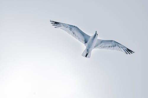 Seagull flying over cloudless sky