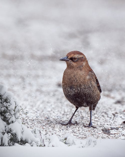 Cute brown dipper standing on snowy ground in nature