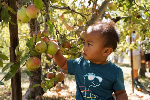 Free stock photo of apple picking, apple tree, oak glen