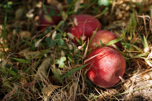 Red Fruit on Brown Dried Grass