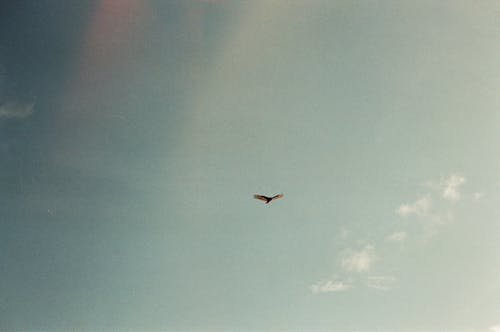Single bird soaring in sky
