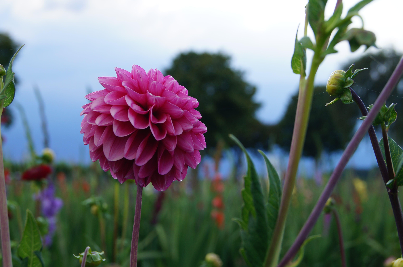 Free stock photo of beautiful flower, beautiful flowers, colors, flower